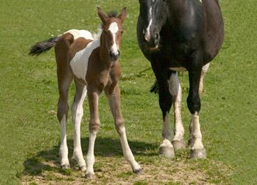 brynachs-foal-brechfa-ceridwen
